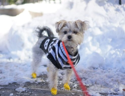 Minnie In Manhattan - Morkie