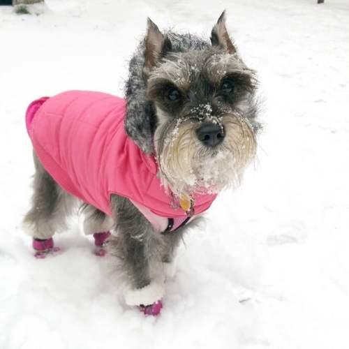 Pepper Mini Schnauzer in Dog coat and dog booties