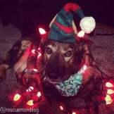 Christmas dog model pose!
