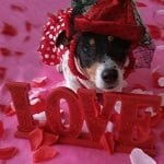 Fashion Friday: Sweetie the Jack Russell Terrier