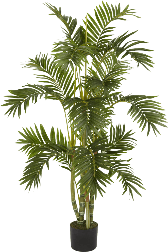 Bamboo Palm In House Plant