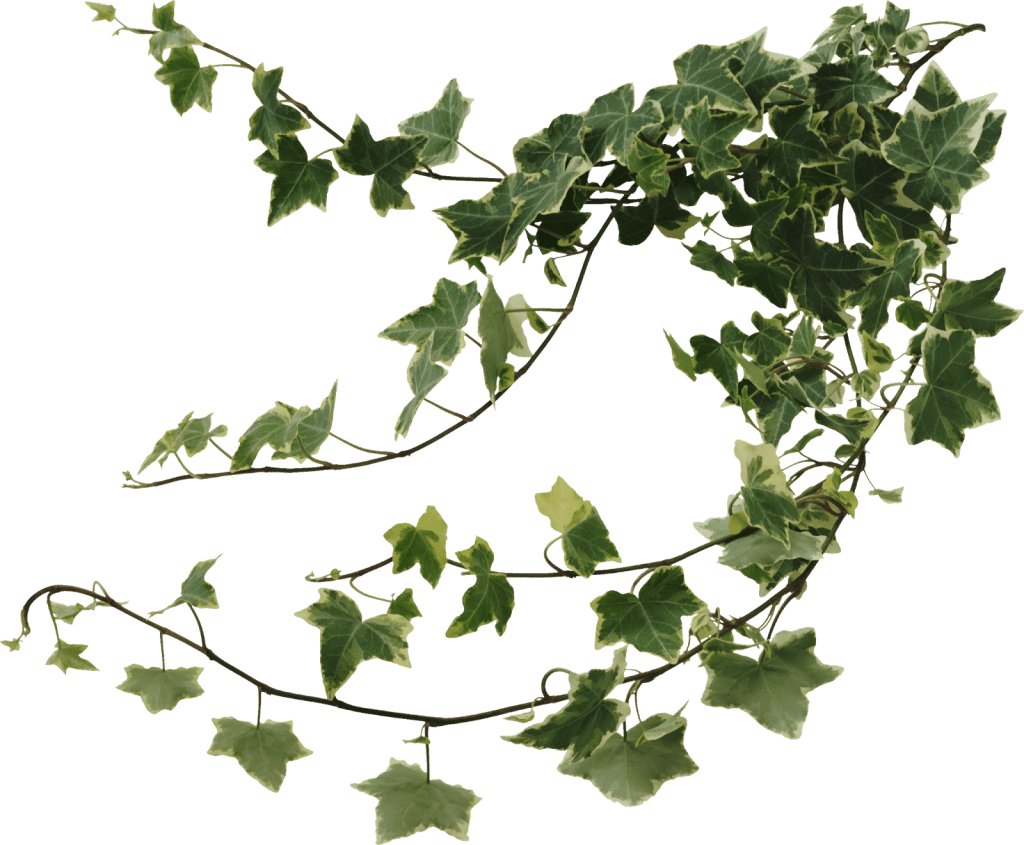 English Ivy In House Plant