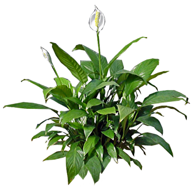 Peace Lily In House Plant