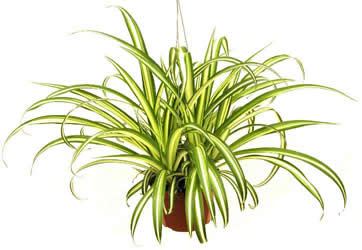 The Spider Plant In House Plant