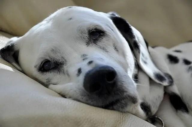 dalmatian laying on sofa
