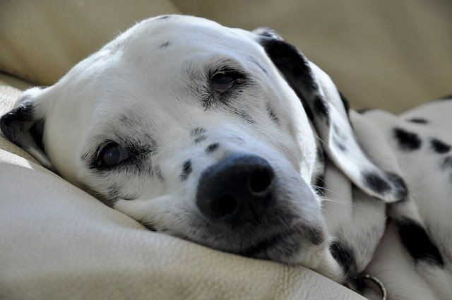 dalmatian laying on sofa