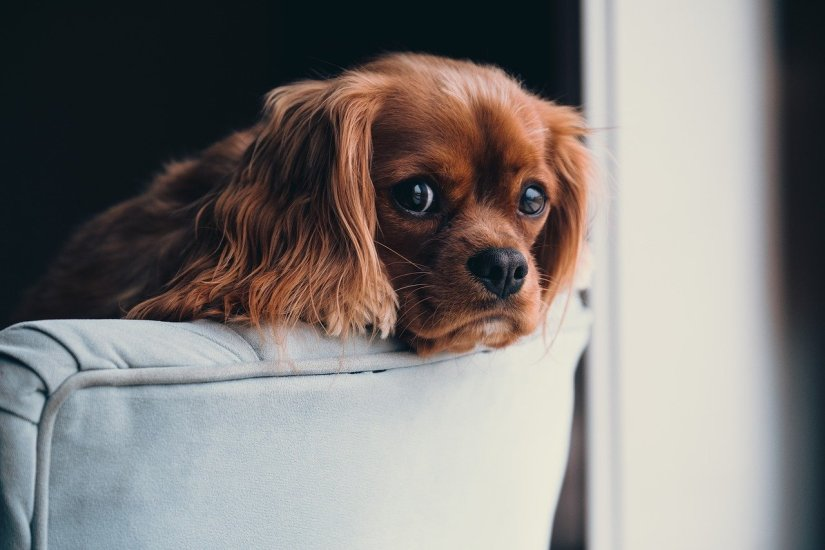 puppy resting head on sofa armrest
