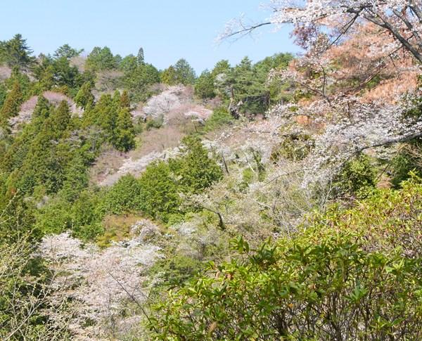 金比羅公園の桜