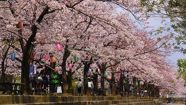 仙台堀川公園の桜並木