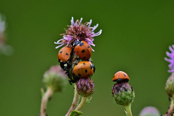 ladybug-4334064_1920