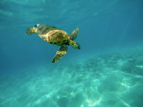 sea-turtle-1851102_1920