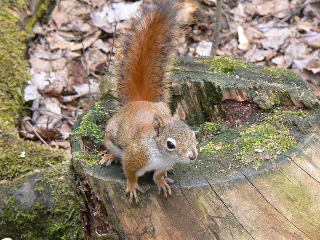 écureuil roux sur une souche d'arbre
