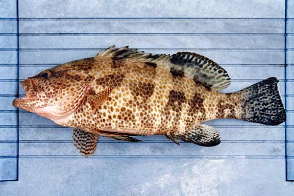 マハタ屬専門 @ 釣絶!魚ゲノム