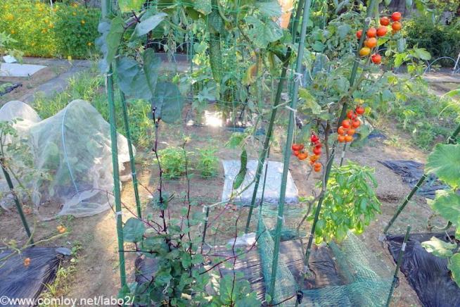 キュウリ、ツルムラサキ、中玉トマト