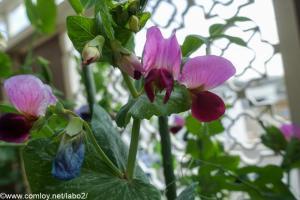 キヌサヤの花