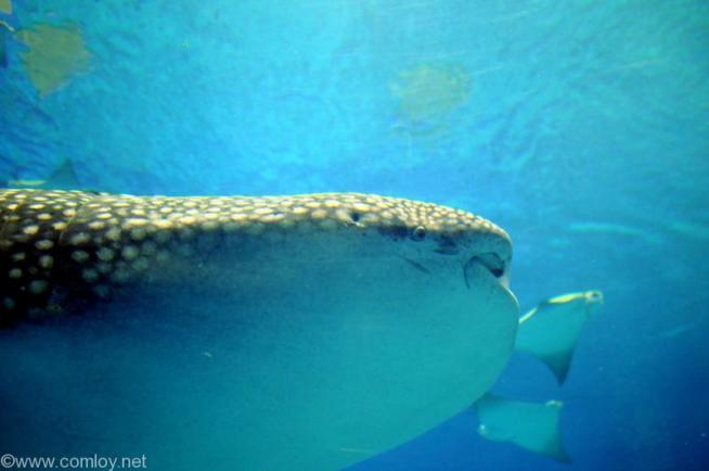美ら海水族館 黒潮の海