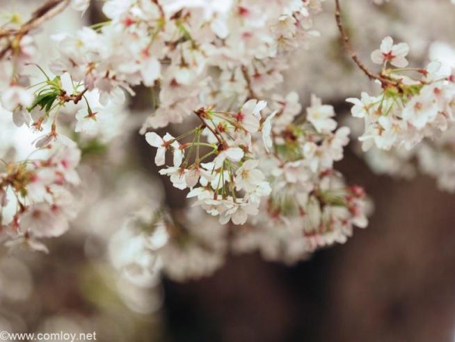 千鳥ヶ淵の夜桜ライトアップ