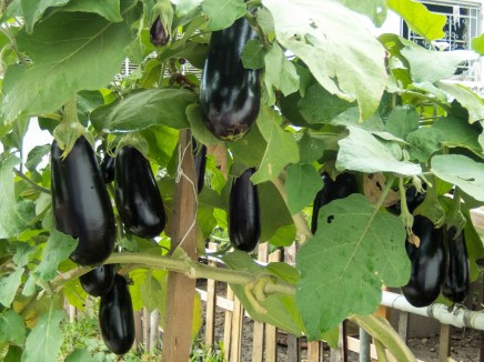 eggplant-plant-peppers-produce-bell-peppers-and-chili-peppers-vegetable-1454415-pxhere.com