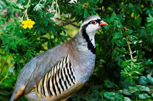 rock-partridge-50362_640.jpg