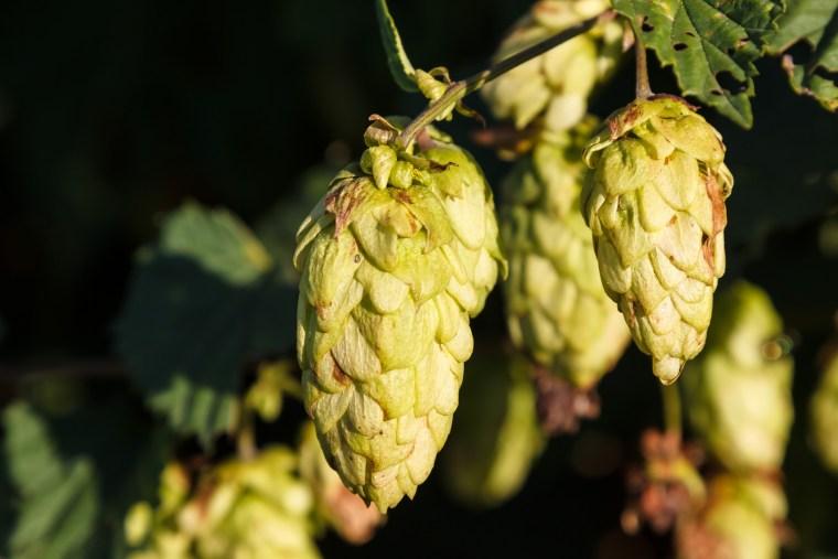 houblon cones brassage biere