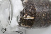 Culture champignon sur drêches