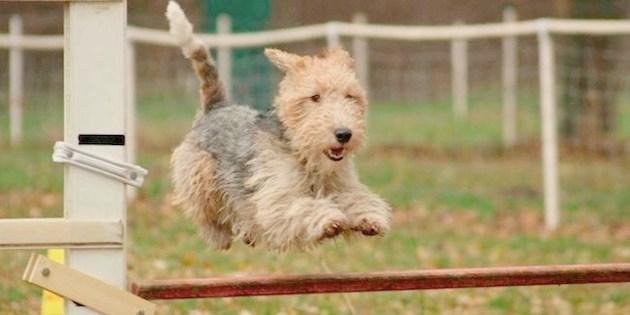 Débuter l'entraînement à l'agility de votre chien