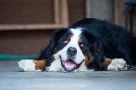 Comment choisir le chien parfait pour vous et votre famille