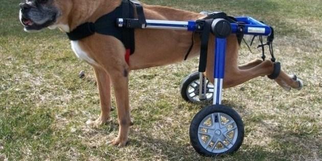 Un boxer handicapé dans un chariot pour chien