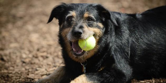 Un chien avec une balle dans la gueule