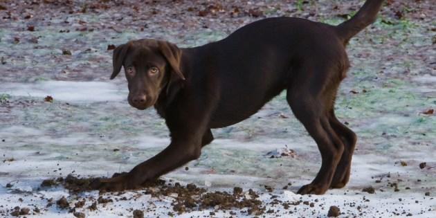 Un jeune chien creusant un trou