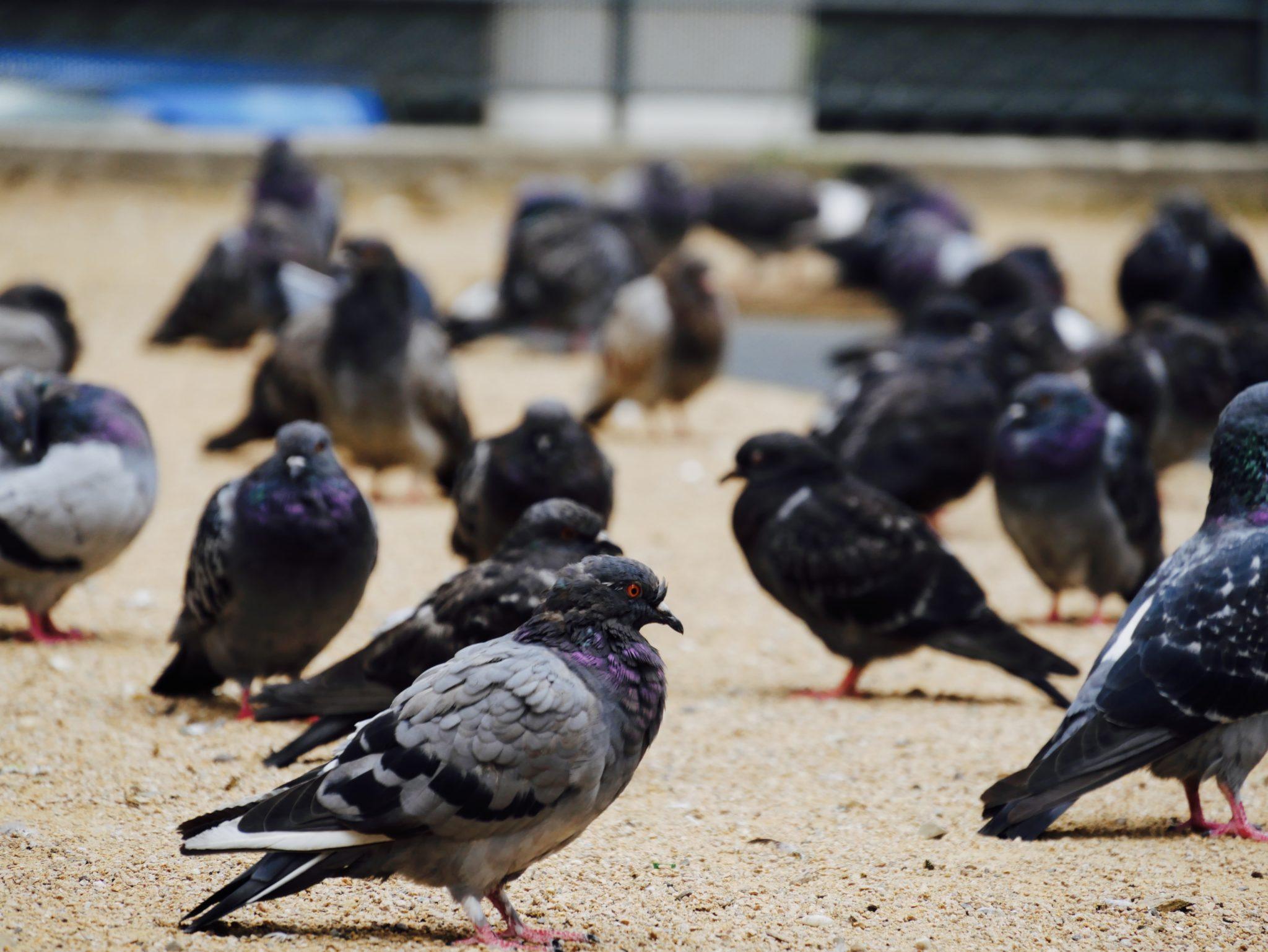 Les pigeons de Guillotière