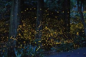 firefly-1