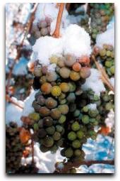 ice-wine-grapes