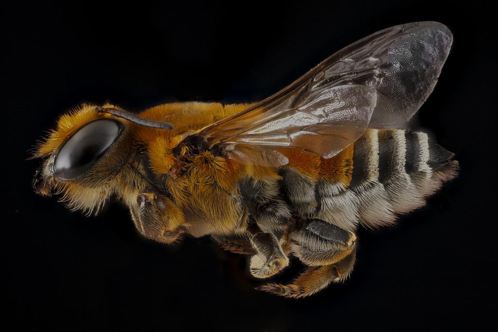 Bee specimen Megachile lanata photographed against a dark background