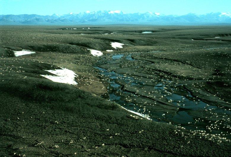 Porcupine caribou herd in the Arctic National Wildlife Refuge