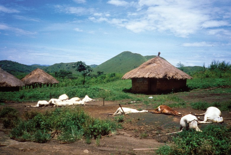 Dead livestock near a village following the Lake Nyos disaster. Source: USGS.