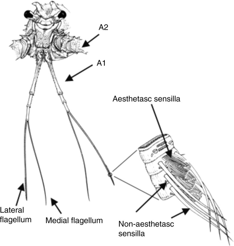 Scientific diagram of the chemosensory organs of spiny lobsters.