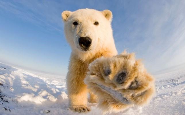 A polar bear extending its paw toward the camera at Bernard Spit in Alaska.