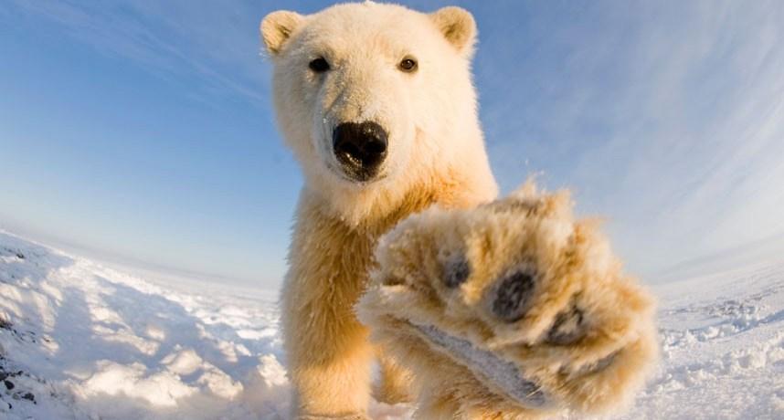 A polar bear extending its paw toward the camera at Bernard Spit in Alaska