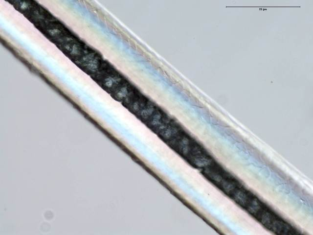 Polar bear guard hair under magnification showing a translucent cortex and hollow medulla.