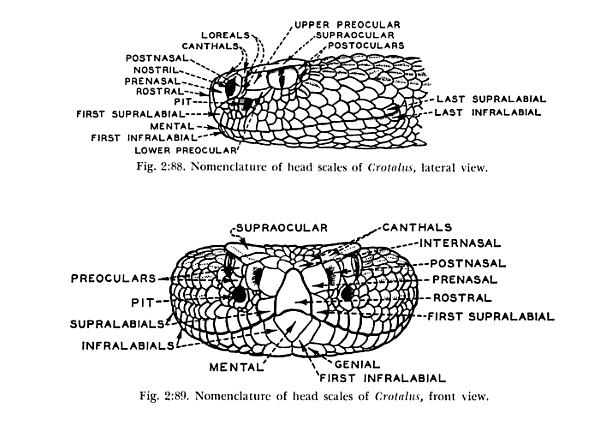 Rattlesnake head scale nomenclature diagram.