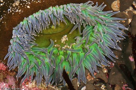 Giant green anemone (Anthopleura xanthogrammica), Fitzgerald Marine Reserve, San Mateo County, CA. Source: http://goo.gl/8OLTA6