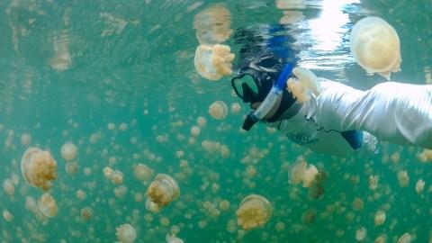 Snorkeling among Palau's lake jellyfish. Source: http://goo.gl/dRbOSH