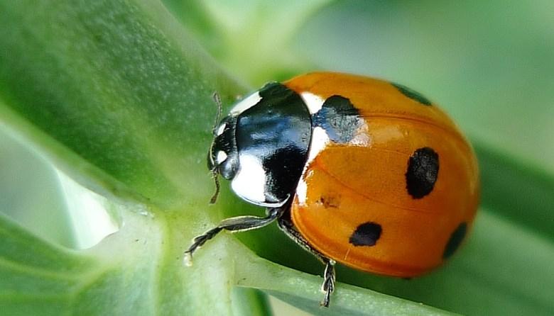 A ladybird beetle on a leaf