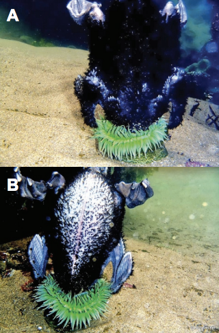 Dorsal (A) and ventral (B) views of a Giant Green Anemone consuming a cormorant chick in a tide pool in Cannon Beach, Oregon, on 24 July 2013. Underwater photographs by Lisa Bullis Habecker. Source: Marine Ornithology 42: 1–2 (2014)