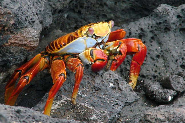 Sally Lightfoot Crab (Grapsus grapsus) on a rocky shoreline in the Galapagos archipelago. Source: Wikimedia Commons