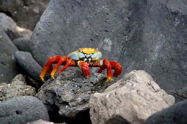 Sally Lightfoot Crab in the Galapagos archipelago. Source: Wikimedia Commons http://goo.gl/GeKPCw