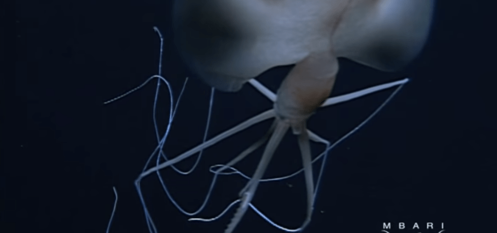 A bigfin squid (Magnapinna) imaged by a MBARI submersible in 2001.