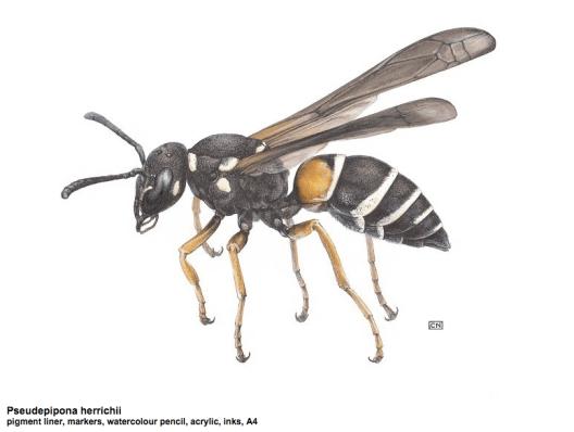 Psuedepipona herrichii illustration by Carim Nahaboo