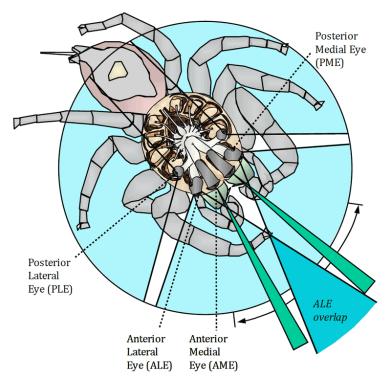 Illustration of jumping spider vision